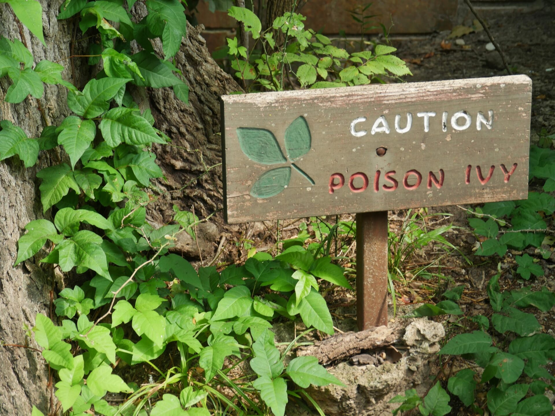 Poison ivy in a wooded area.